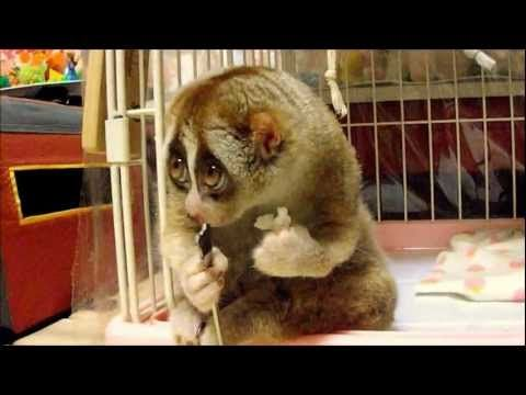 Slow Loris eating! This thing is so cute with its lil hands(: