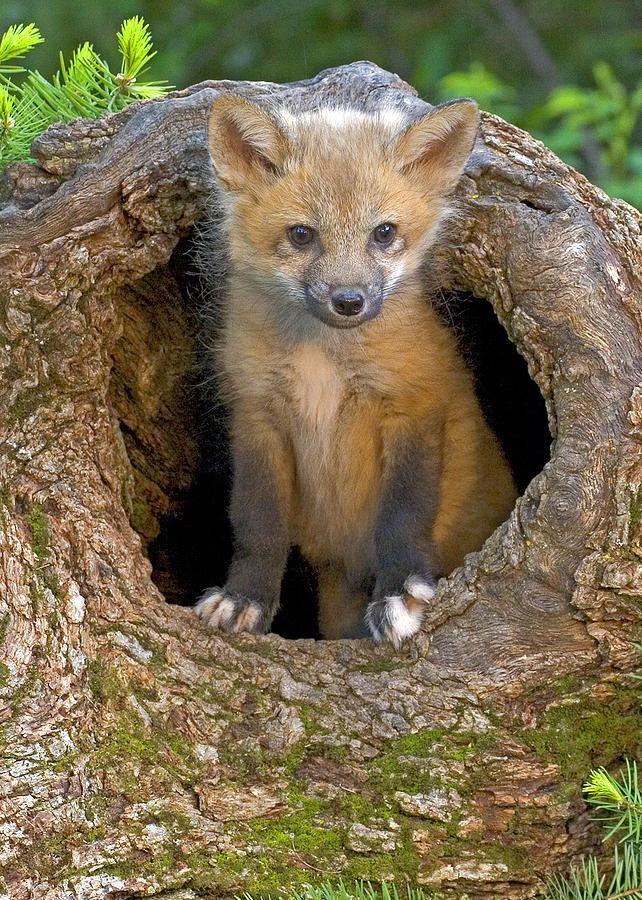Red Fox Kit by Jack Nevitt | Cute animals, Animals ...