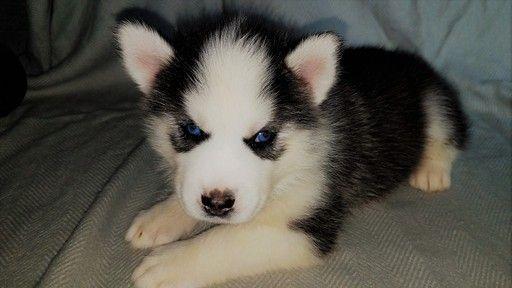 Siberian Husky Puppy For Sale In Battle Creek Mi Adn 42917 On