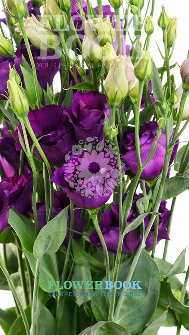 Lisianthus D Minuet Dark Purple