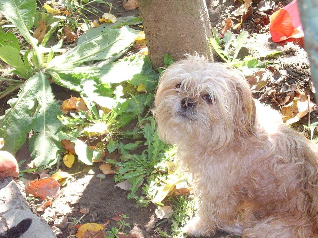 Bologneser Hunderassen Hunde Hunderassen Bilder