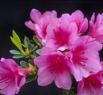 Azalea 'Tina' 1 flower