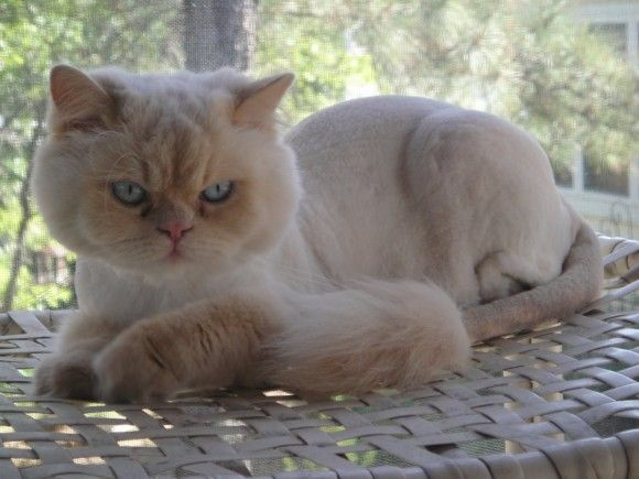 Cats With Lion Haircuts Gallery Cat Having Kittens Cat Haircut Persian Cat