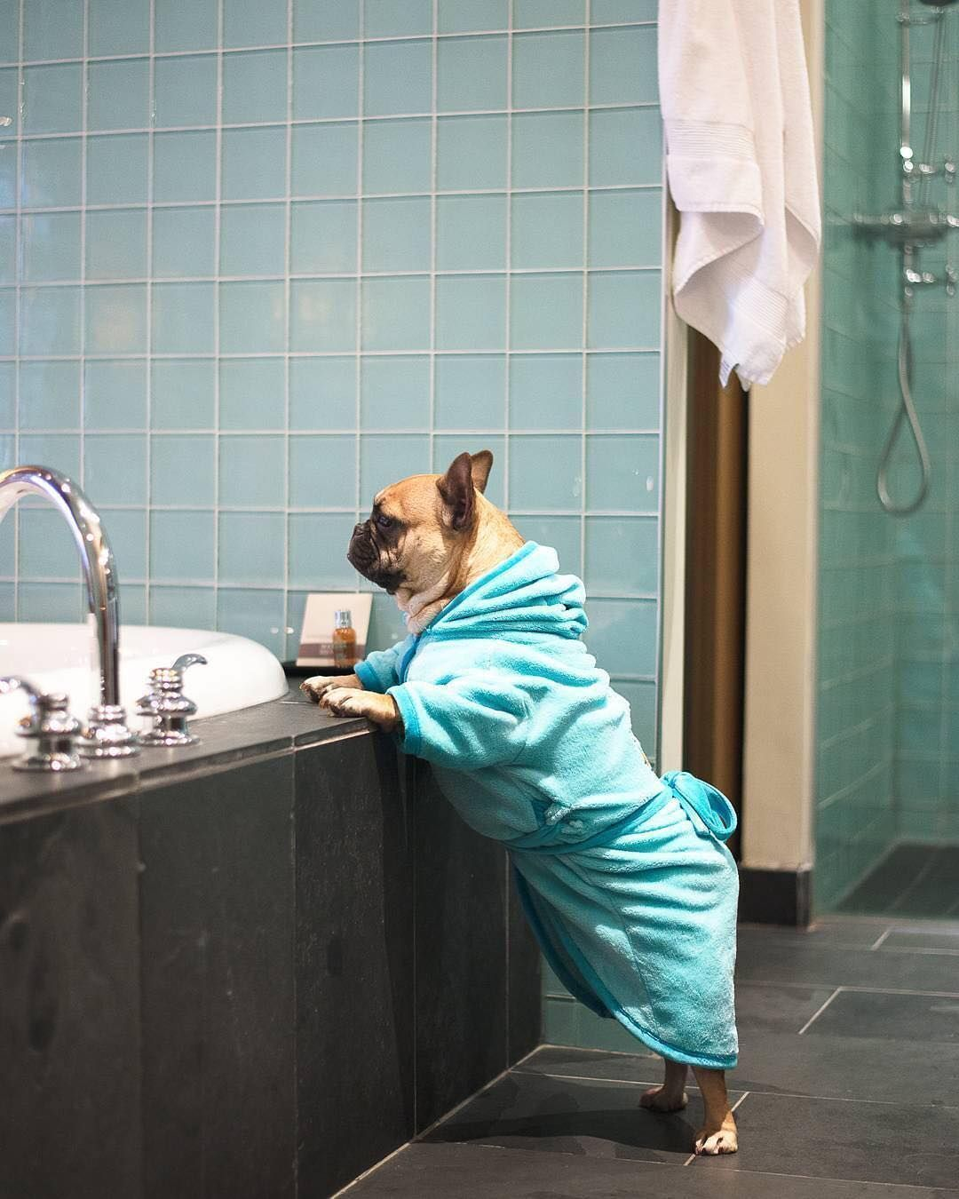 Too Busy Living The High Life Pampered French Bulldog Buldog Cute French Bulldog Bulldog Breeds French Bulldog Breed