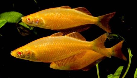 A Wonderful List Of Most All Of The Rainbowfish Species That You