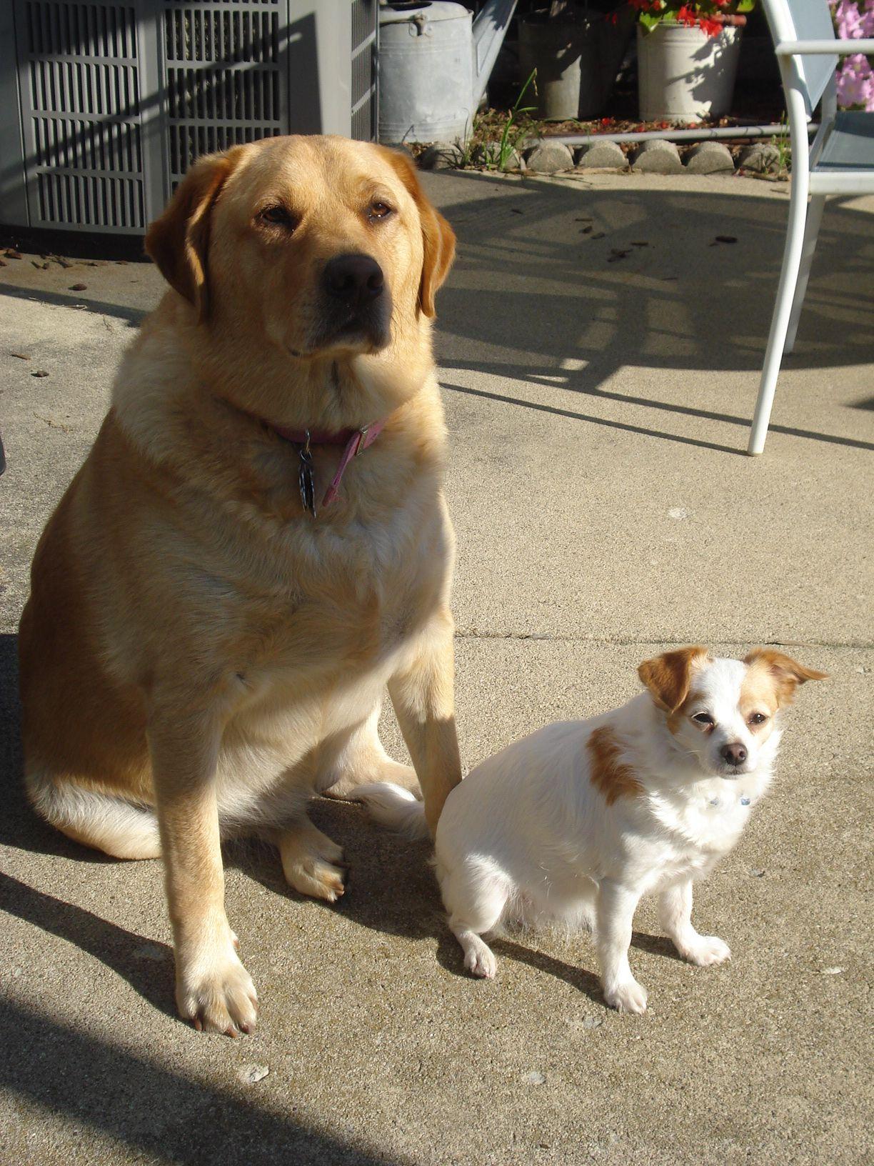 Hasi And Ava Sept 2013 Chihuahua Mix Labrador Retriever Chihuahua