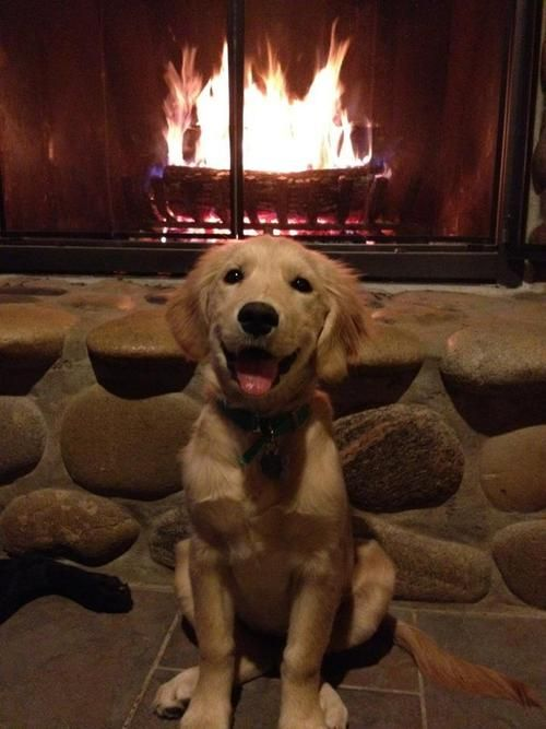 Striking A Pose By The Fire Golden Retriever Cute Animals Cuddly Animals