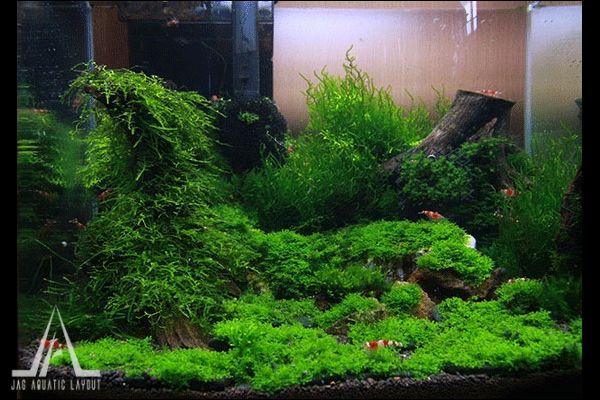 moss nano aquascape nano shrimp tank pinterest