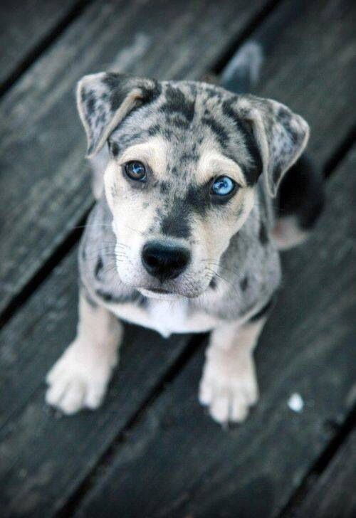 Louisiana State Dog The Catahoula Cur Note The Two Different