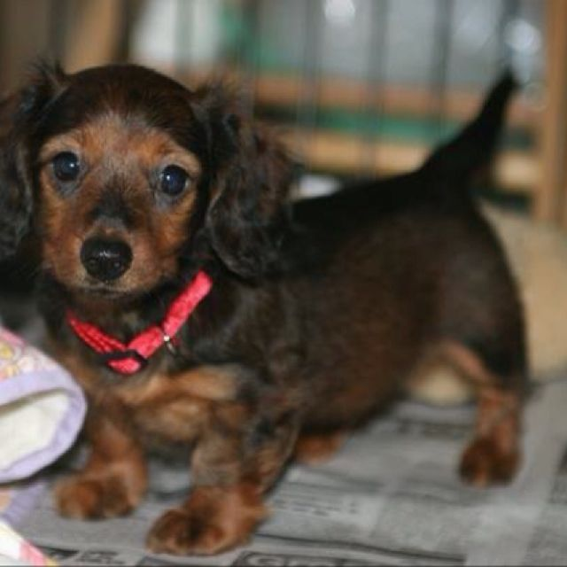 Pin By India Dietrich On Weenie Dogs Long Haired Dachshund Dachshund Breed Dachshund Dog