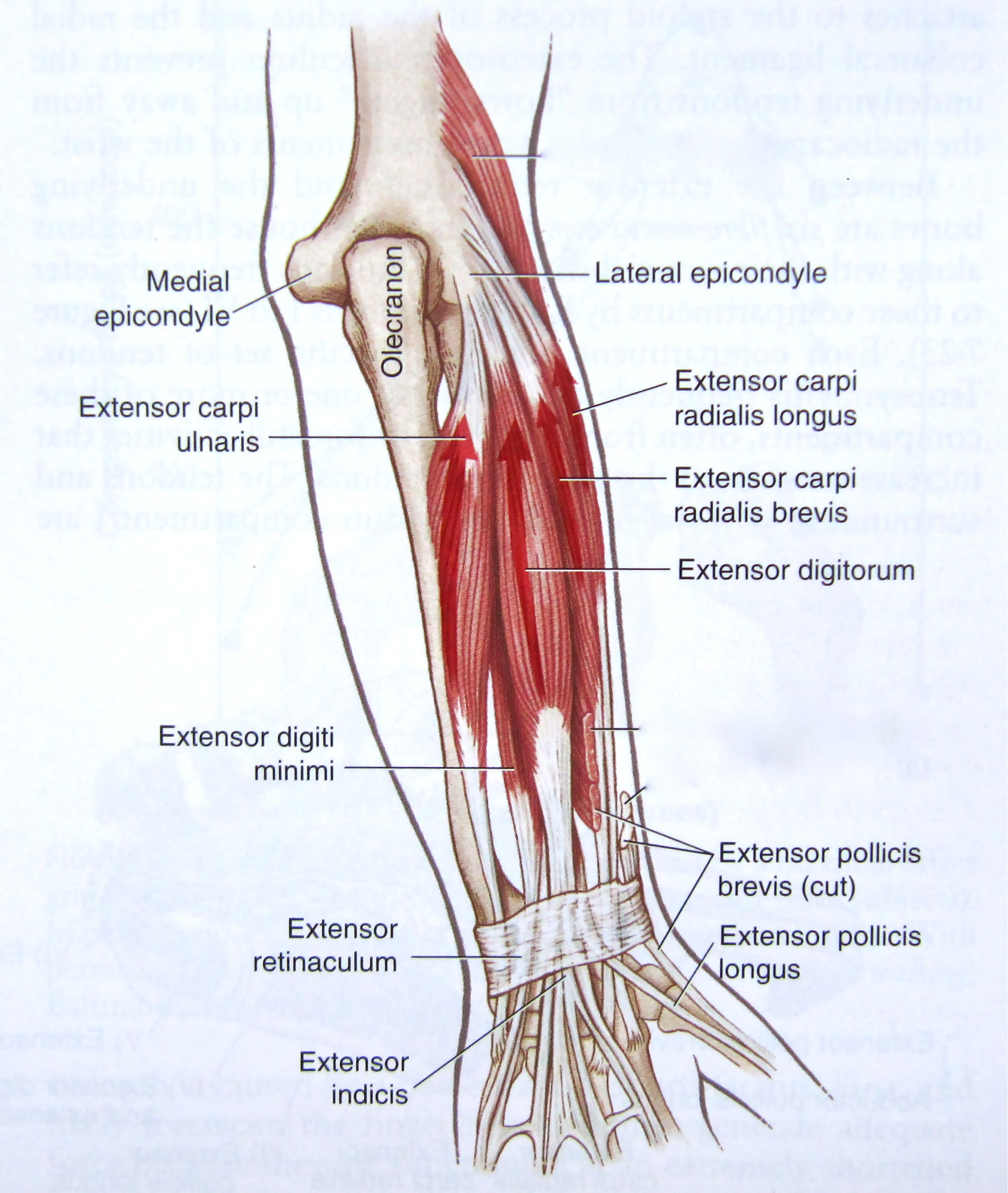 Forearm and wrist anatomy of tendons and muscles extending the wrist ...