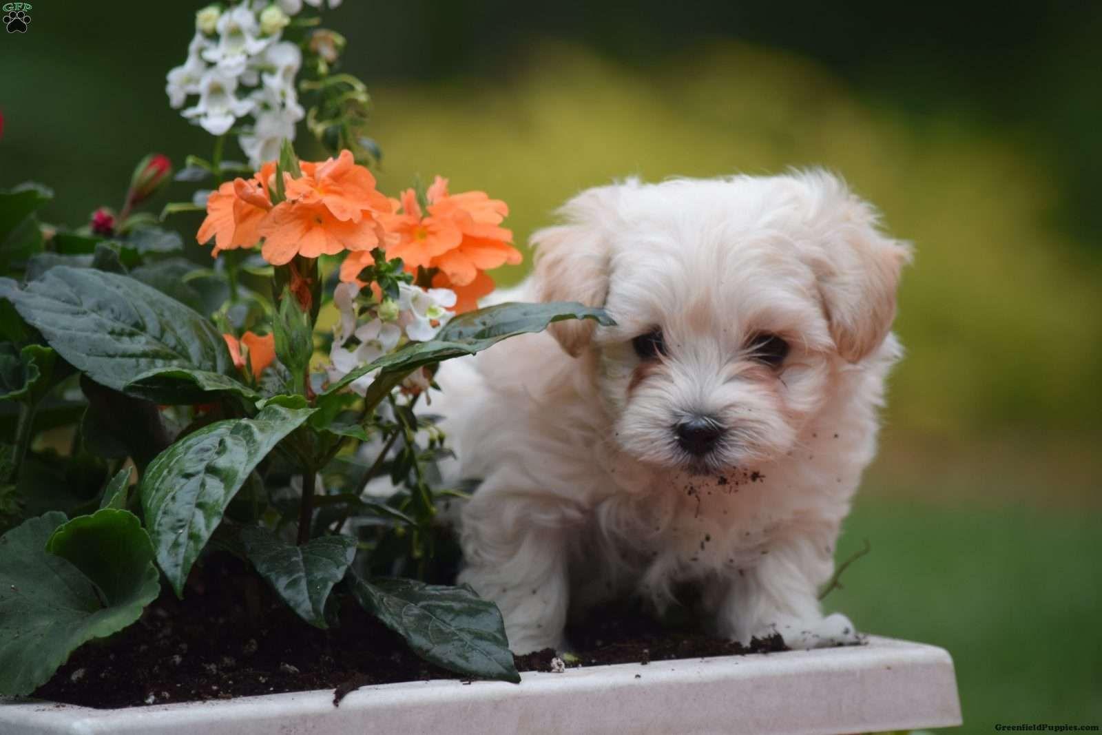 Tiger Maltipoo Puppy For Sale in Pennsylvania Maltipoo