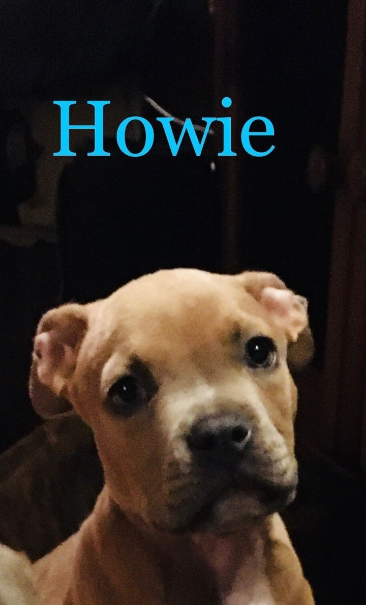Adopt Howie On Petfinder In 2020 Dog Adoption Adoption Bulldog Puppy Training