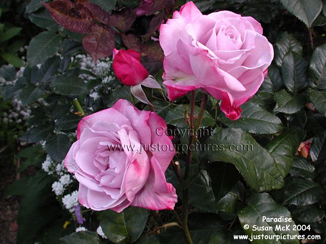 Just Rose Pictures Paradise Mauve Rose Picture Rose Rose Pictures Flowers