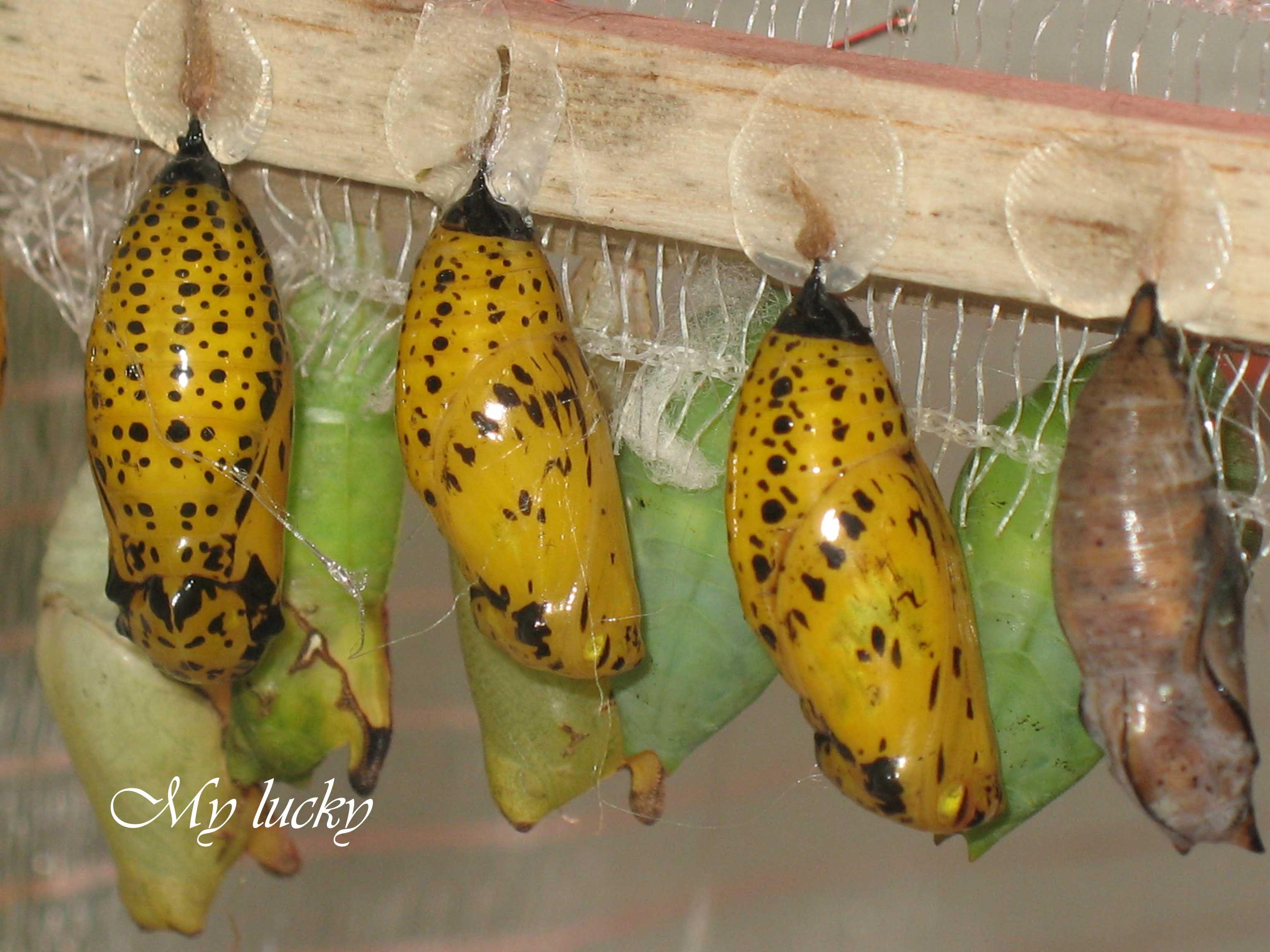 Bozzoli di farfalla.