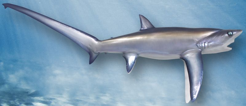 The Thresher Shark is also known as the Alopias Vulpinus or Fox ...