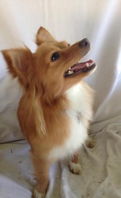 Adopt Stella On Chihuahua Mix Puppies Pomeranian Chihuahua Mix