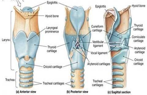AN3 09:Laryngopharynx, Larynx and Speech | Images for voice ...
