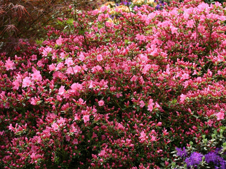 Japanische Azalee Madame Albert Van Hecke Rhododendron Obtusum Madame Albert Van Hecke Azaleen Lavendel Hecke Hecke