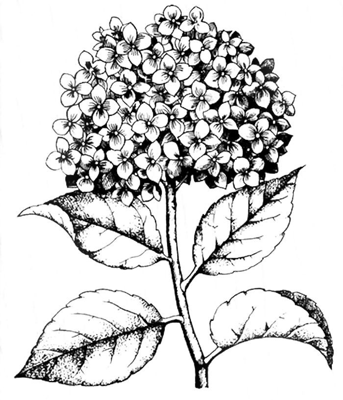 hydrangea stamp coloring page