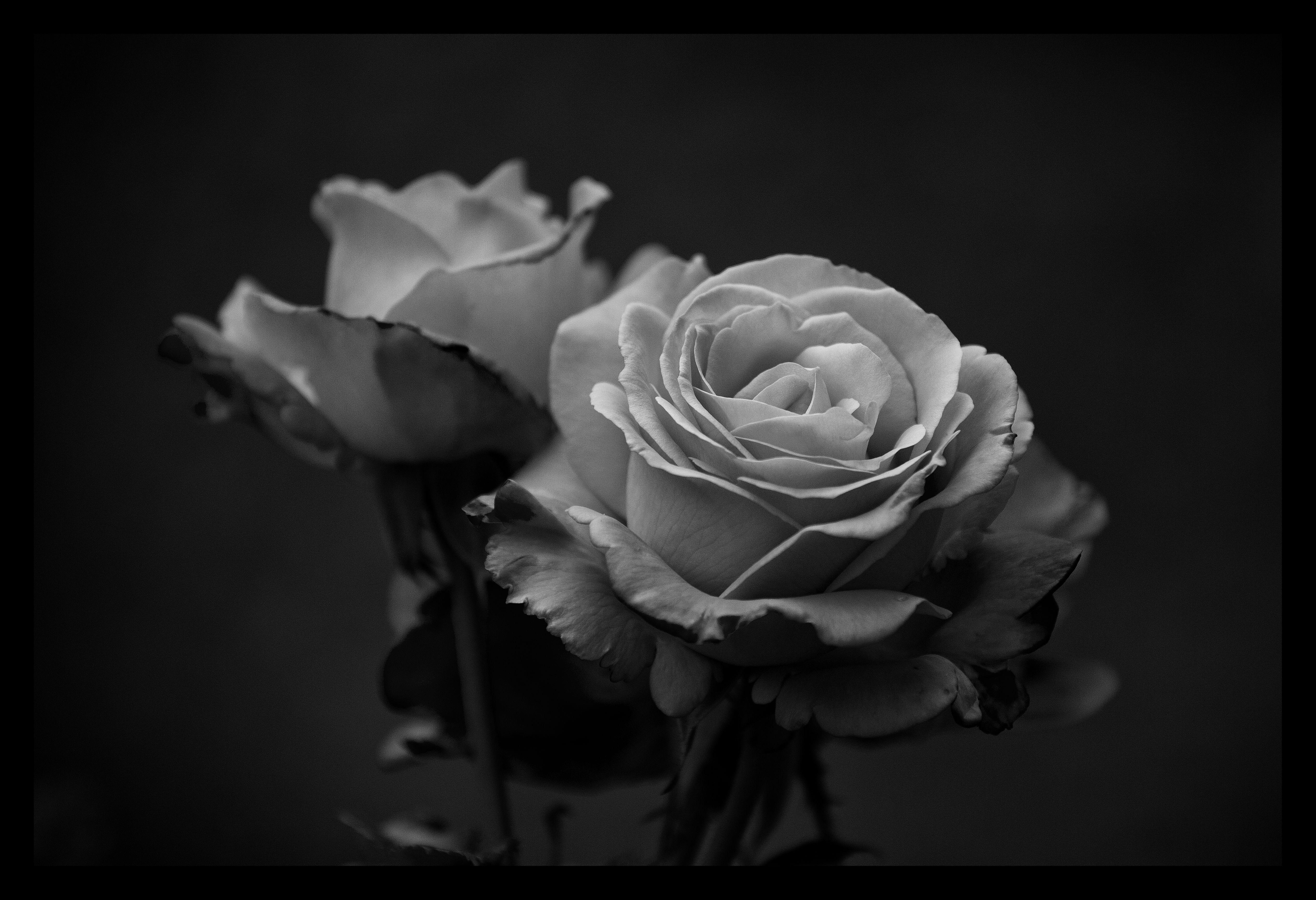 Black'n'white roses by Sloorth on DeviantArt Black and