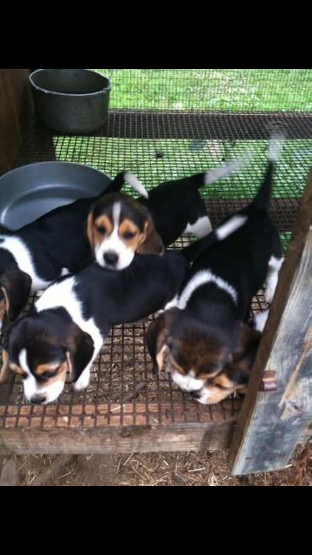 Adolescent Beagles Are Full Of Energy And Need A Lot Of