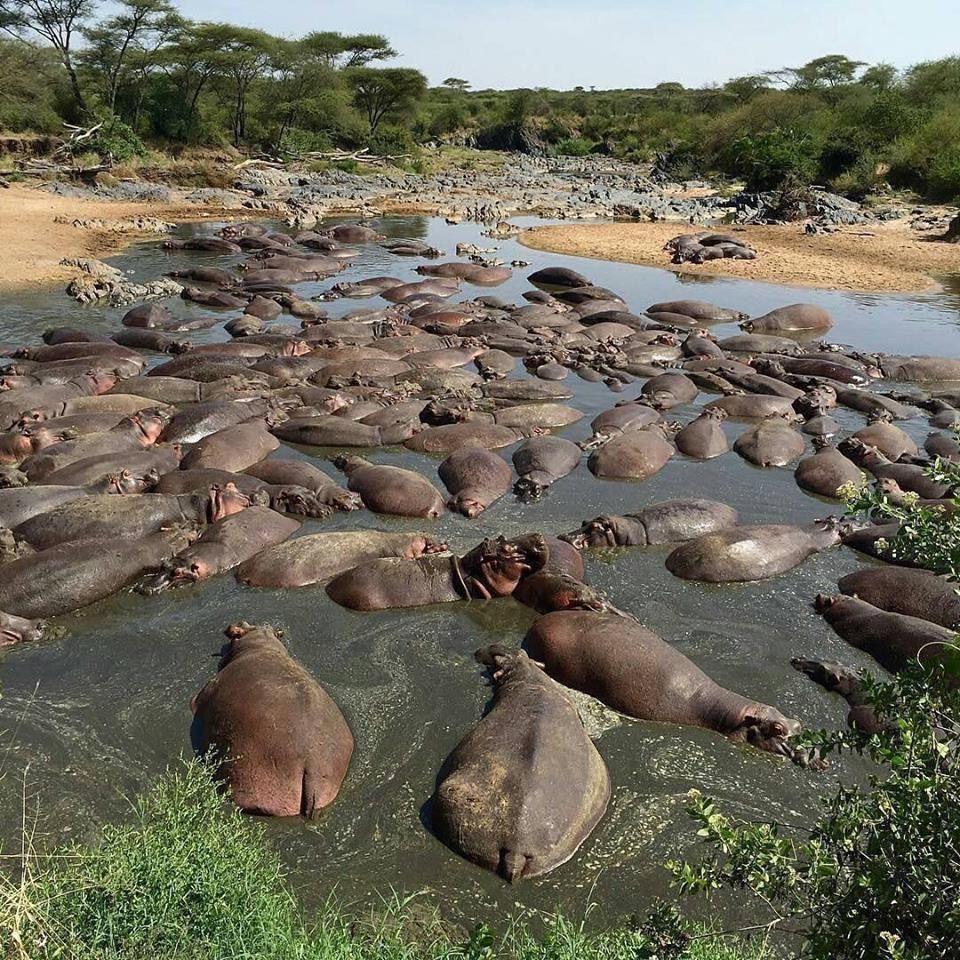 Hippo Pool Serengeti National Park Amazing Animal Pictures Serengeti Tanzania Serengeti National Park