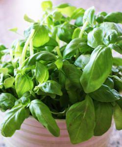 faire pousser et cultiver du basilic en pot est tout à fait