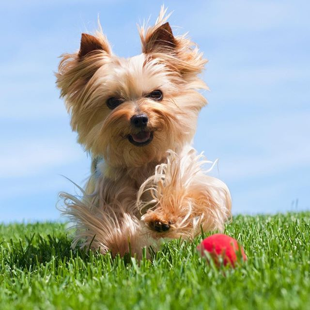 Yorkshire Terrier Yorkie Dog Breed Information Yorkshire