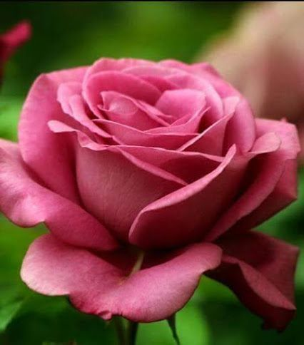 60 Different Colors Of Roses Enjoy Lovely Rose Flowers Collection Beautiful Rose Flowers Most Beautiful Flowers Fall Vegetables To Plant