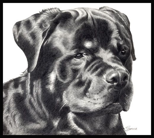 how to draw a realistic rottweiler