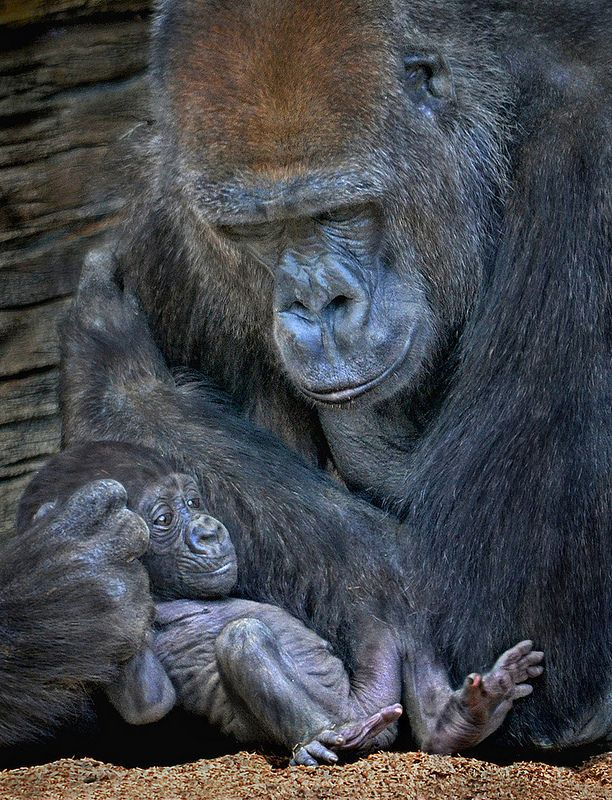 Back Support Animals Beautiful Baby Gorillas Gorilla