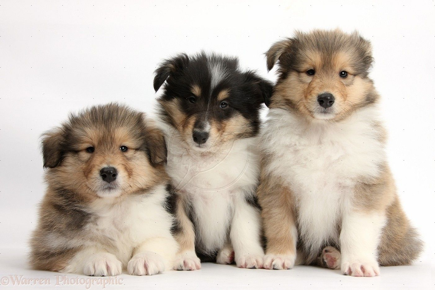 Fluffy Rough Collie Pups Rough Collie Collie Puppies Kittens
