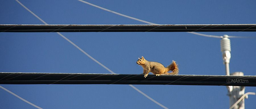 Squirrel on the Wire | Squirrel