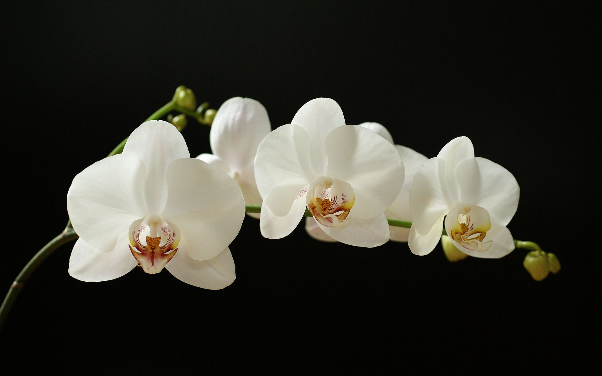 White Orchid Orchid Wallpaper White Orchids Orchid Flower