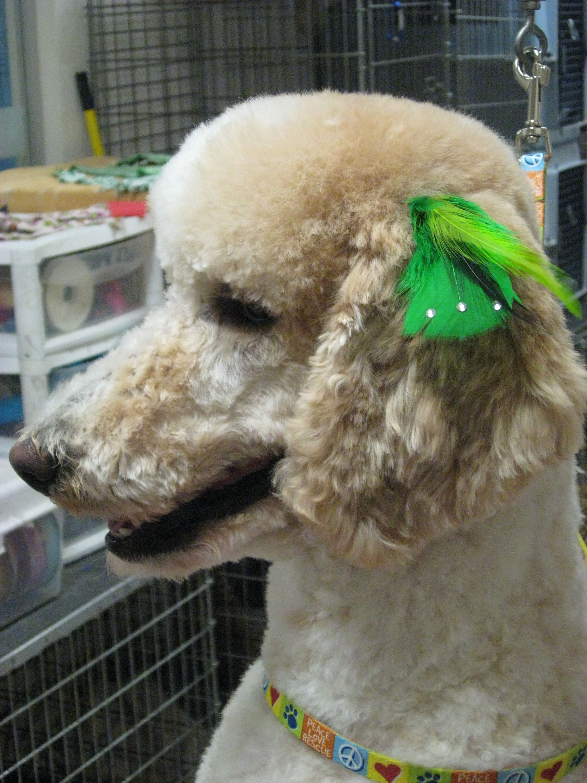 Chloe Parti Color Standard Poodlle St Pattys Day Feather Dog