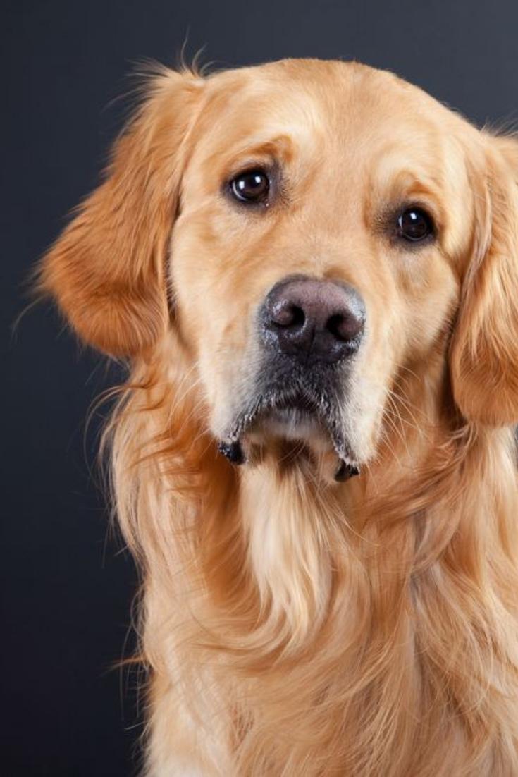 Purebred Golden Retriever Dog On Black Background Goldenretriever In 2020 Golden Retriever Dogs Golden Retriever Purebred Golden Retriever