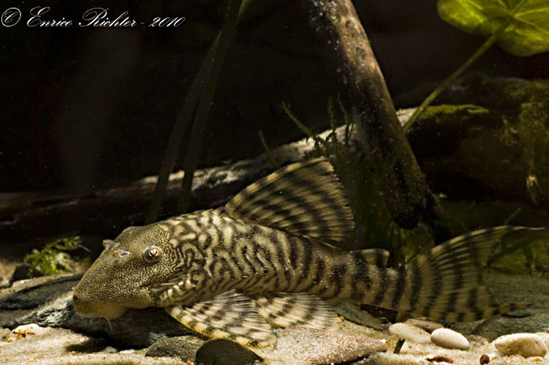 L226 - Iquitos Tiger Pleco | Freshwater Pleco Wants | Fish