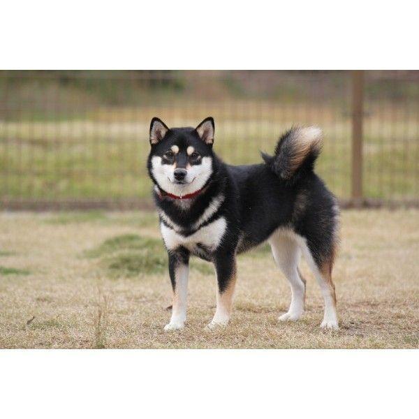 Black And Tan Japanese Shiba Inu Small Dog Breed Running Playing