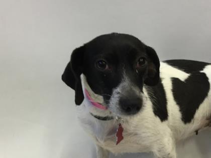 Adopt Callie On Rat Terrier Mix Rat Terriers Terrier Mix