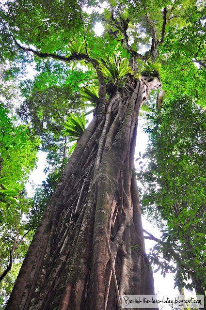 Tree Canopy - Barrington Tops Australia
