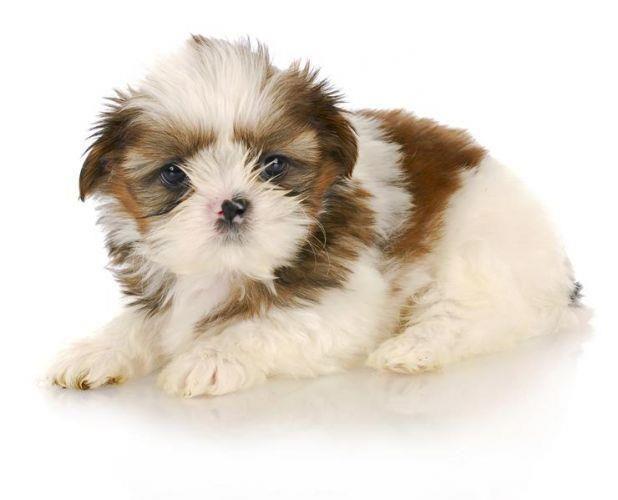 Shih Tzu Area Of Origin China Date Of Origin 1800s Original Function Lap Dog Shihtzu Dog Puppy Breed Shihtzu Do Dog Breeds Lap Dog Breeds Shih Tzu