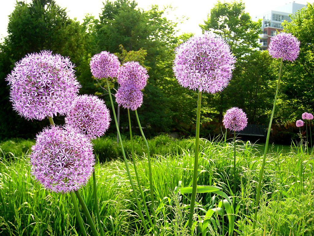 allium flower cositas bonitas