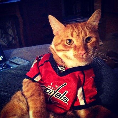 timeless design f8762 b00c9 hockey cat, haha my cat needs a CAPS jersey | Hockey ...