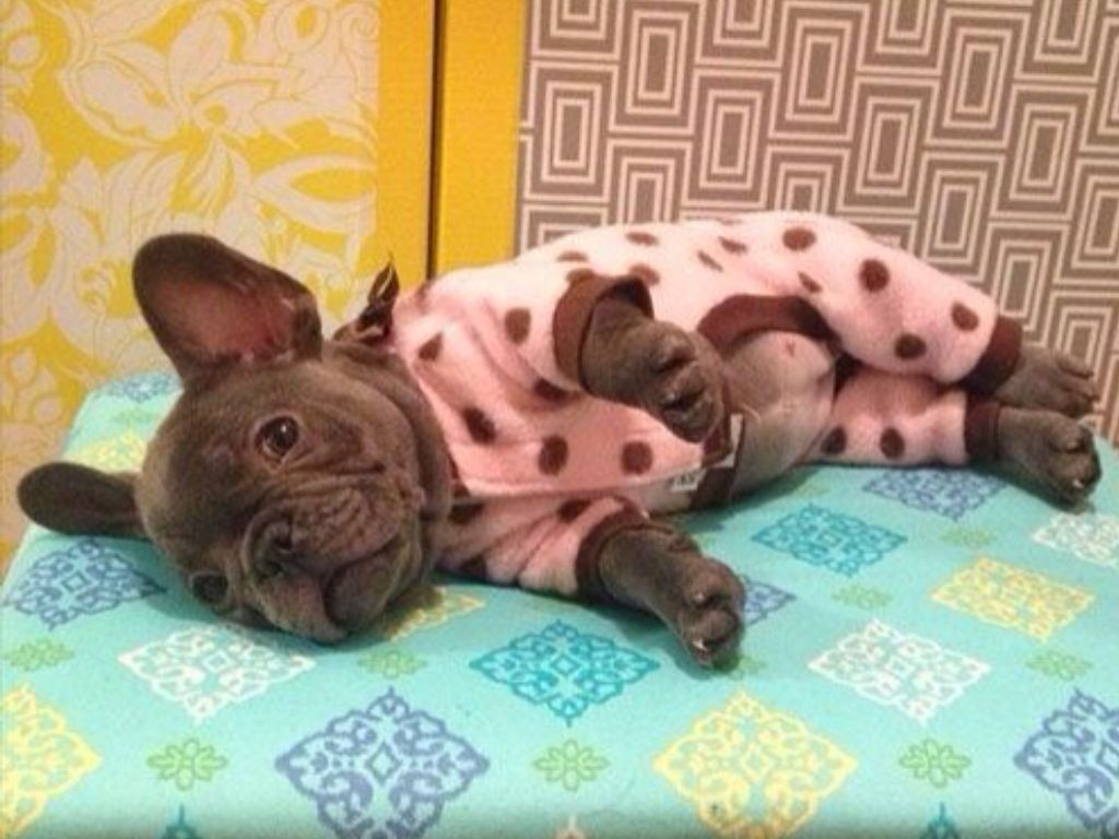 'Penny', a French Bulldog Puppy in Jammie's.❤