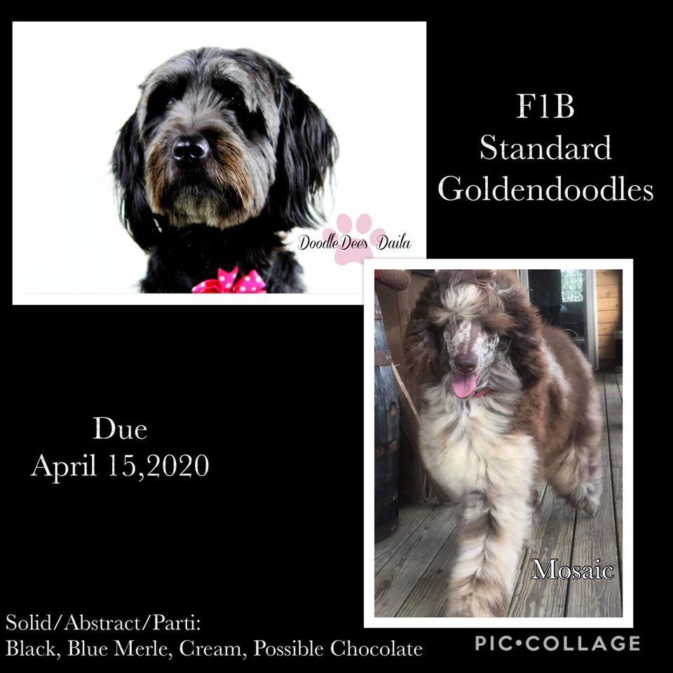 Standard Goldendoodles coming! StandardGoldendoodles