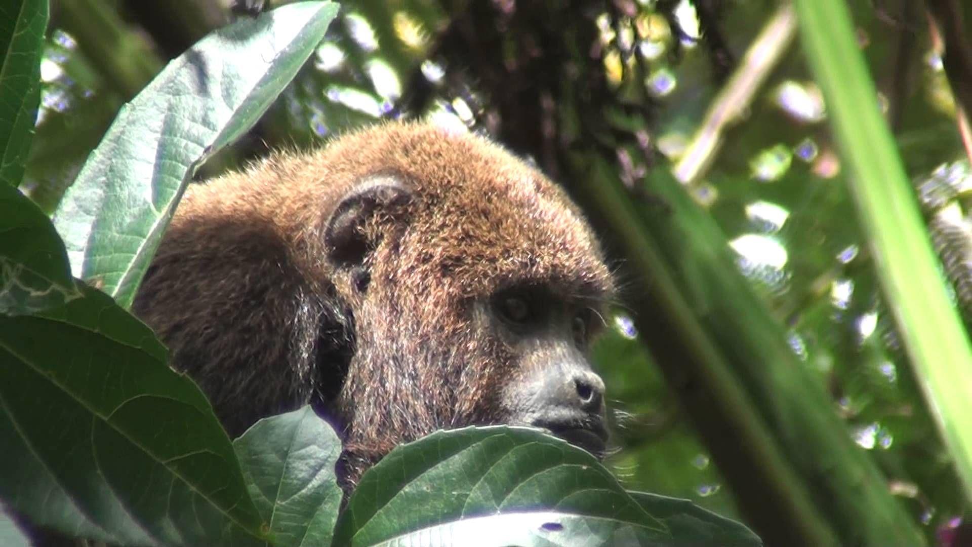 Brown Howler Monkey (Alouatta Guariba) #Animals #Brasil Httpst