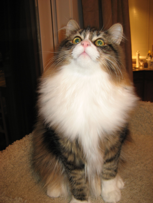 Our Hypoallergenic Siberian Kitten Siberian Cat Siberian