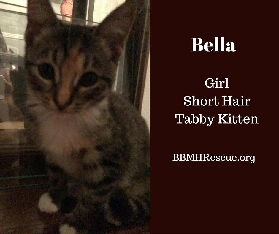 Bella Is A Tabby Female Kitten This Is A Kitten Being Fostered In A Private Home By Our Cat Rescue The Kitten Is Spaye In 2020 Tabby Kitten Cat Adoption Cat Rescue