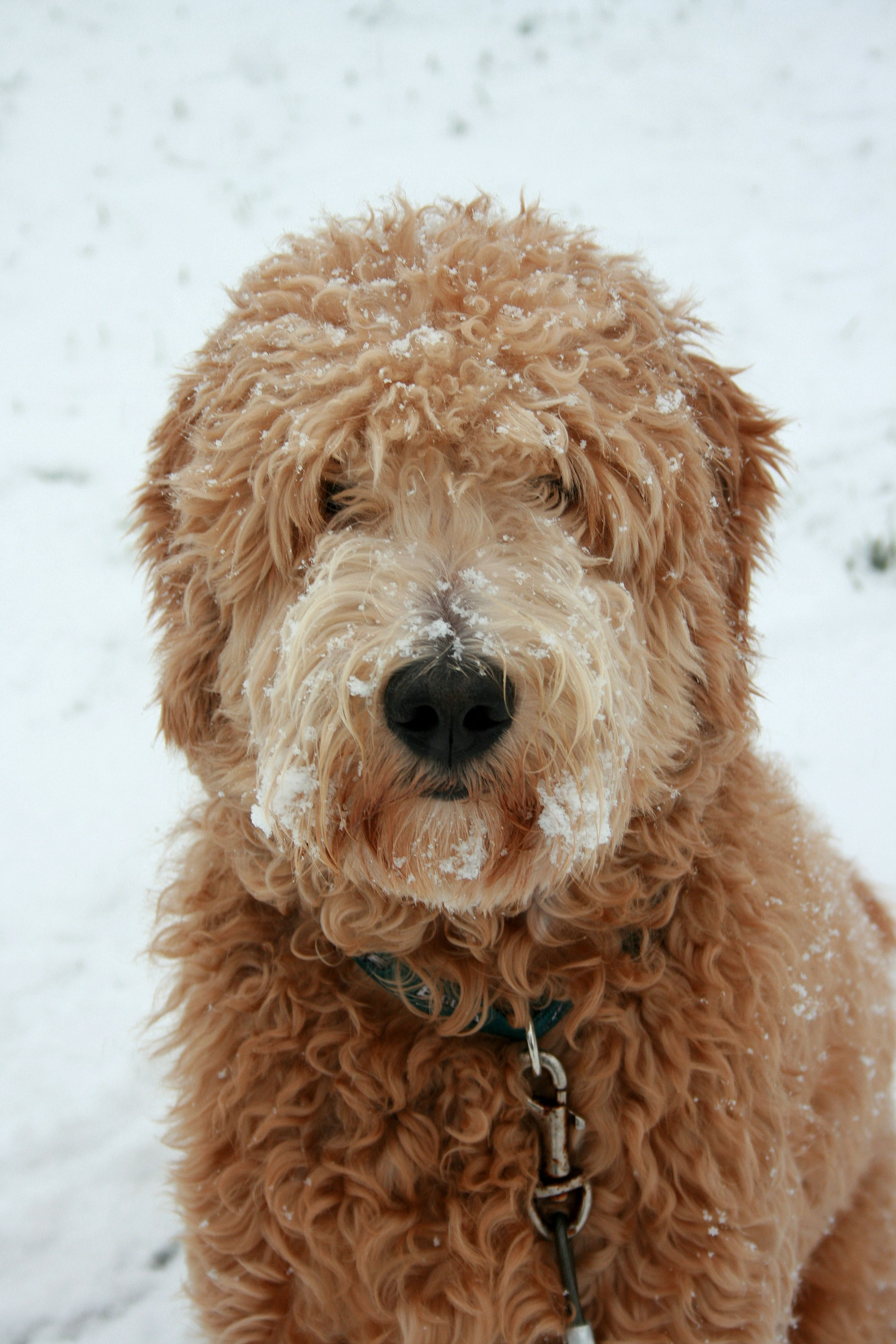 Semi Short Haircut On A Goldendoodle Goldendoodles | semi short haircut on a goldendoodle goldendoodle